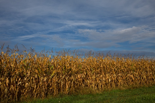 autumn-cornfield