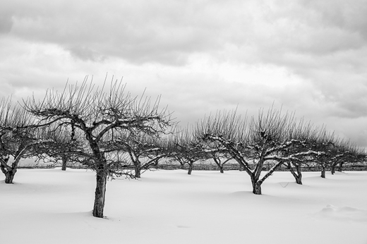 orchard-on-hill-snow-bw