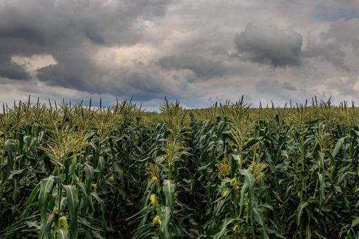 summer-corn